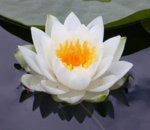 flor-del-loto